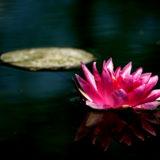 Seerosee_pink