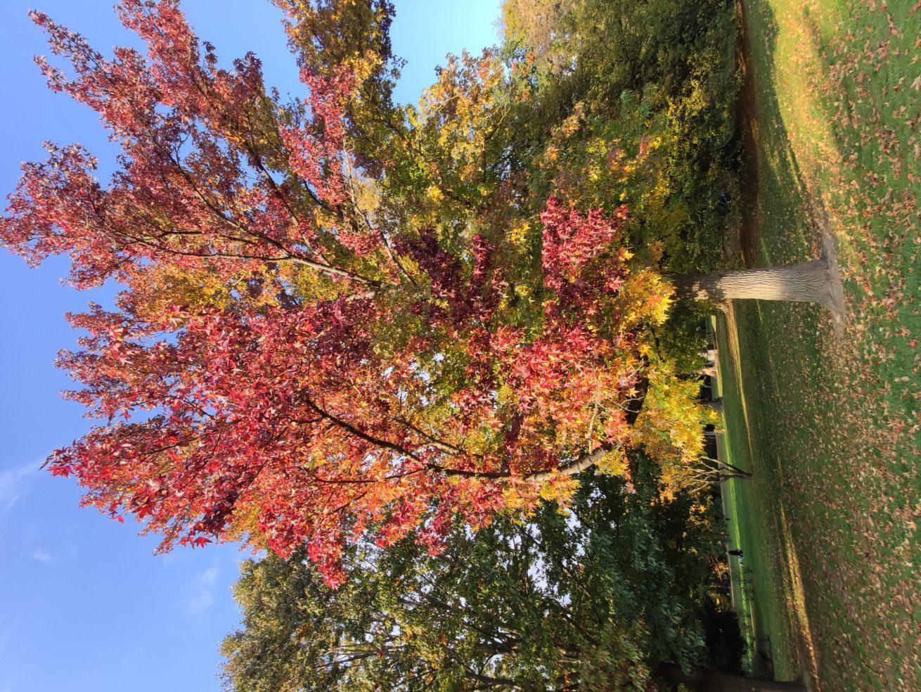 Amberbaum_Herbst