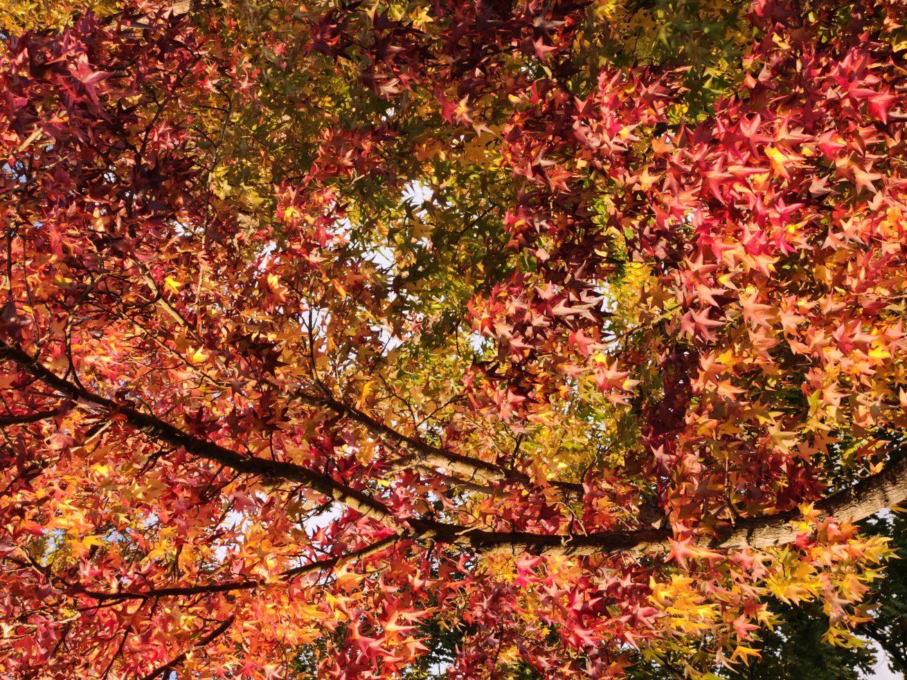 Amberbaum_Herbstlaub