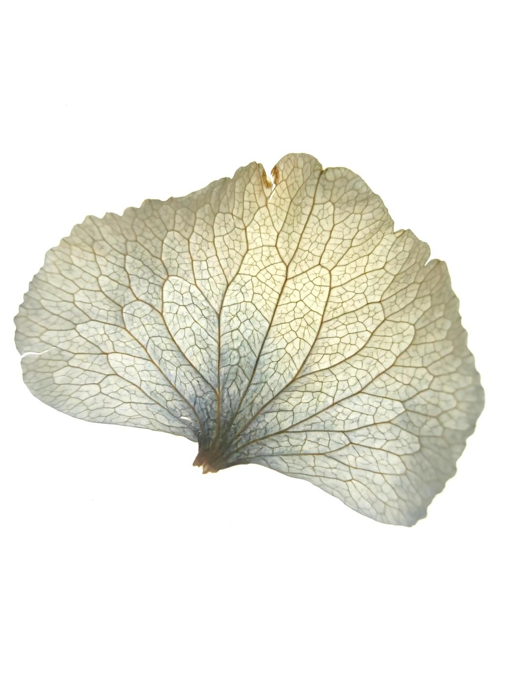 hortensienblatt-blüte